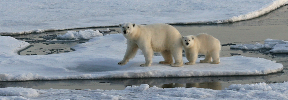 Polar Bears - Climate change and biodiversity