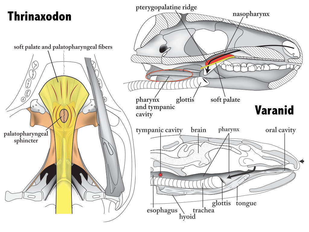 Origin of the pterygoid bone and pharyngeal musculature in mammals ...