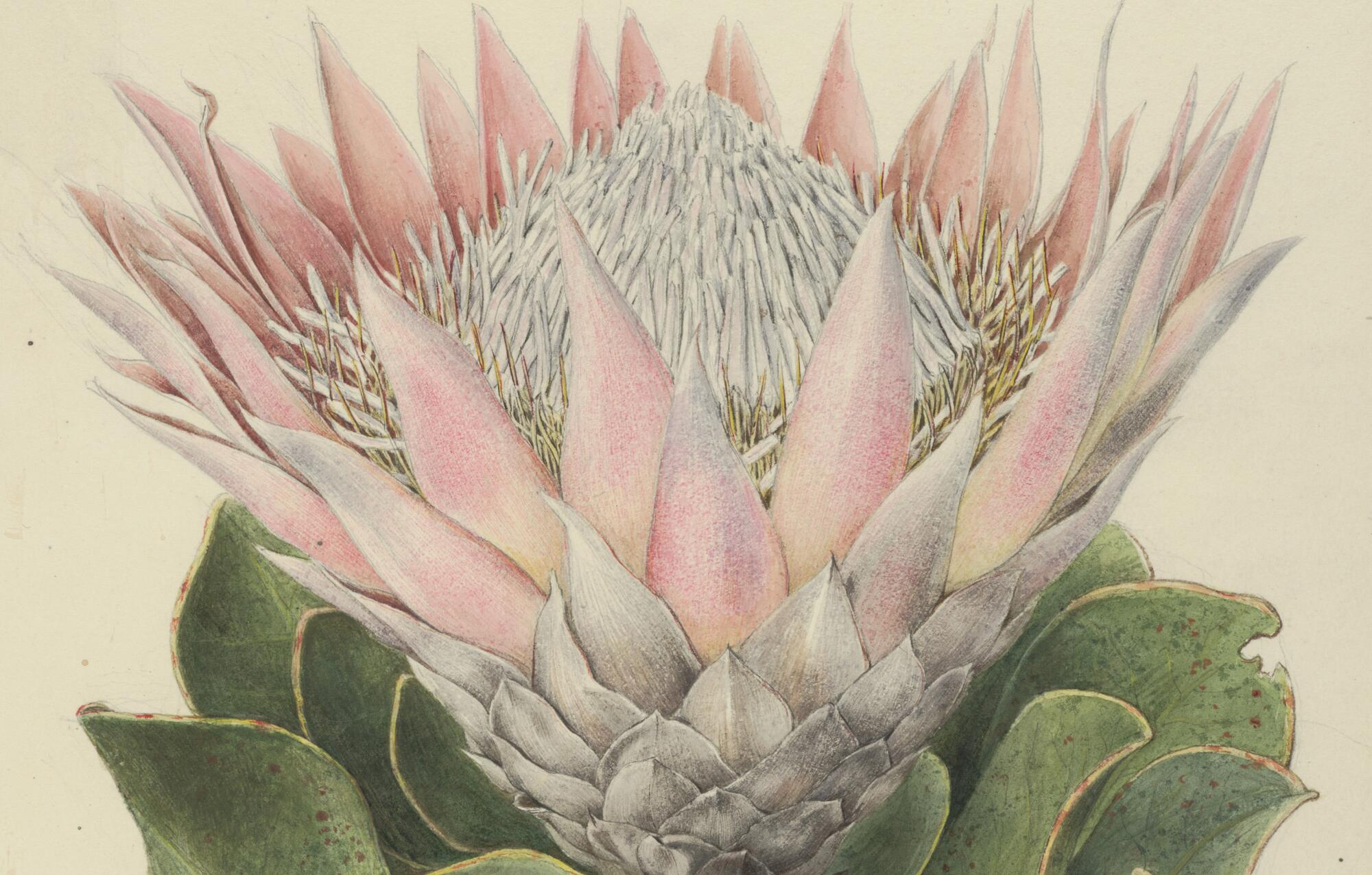 The king protea (Protea cyanroides) by A.T. Agate for the U.S. Exploring Expedition, (1838-1842).  (GH)