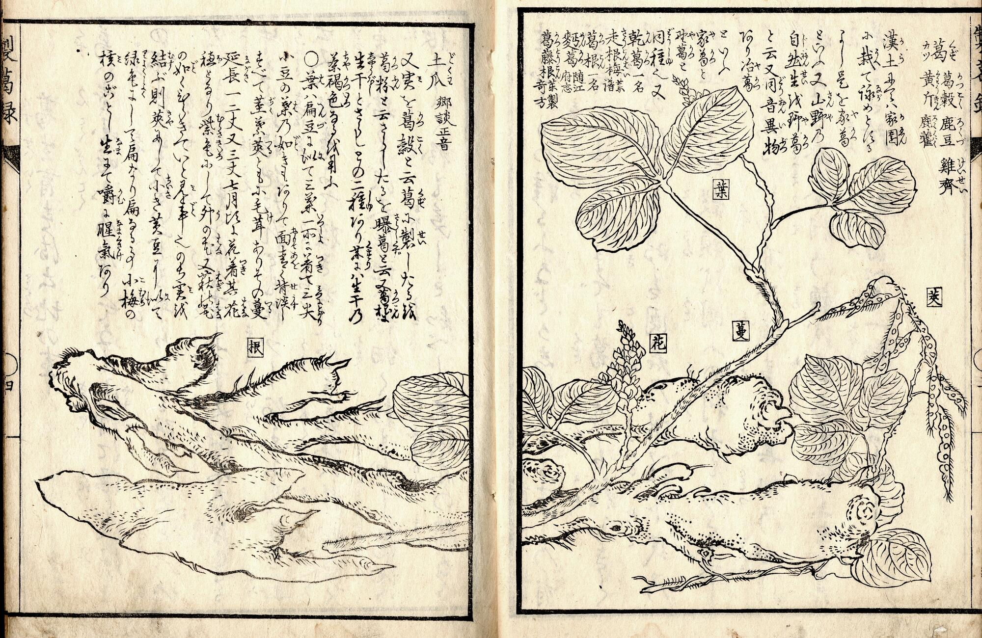 Woodblock image of kudzu plant and root system, with notes in Japanese.