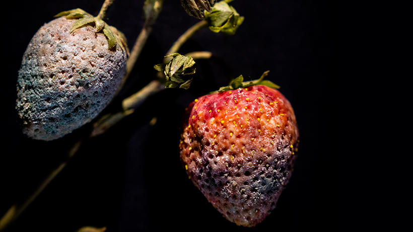 Two strawberries, one covered in mold, the second one is rotting.