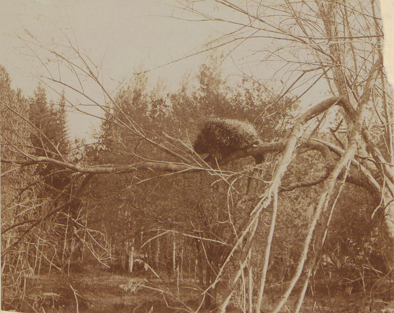 Sepia-toned photo of a porcupine on a tree branch.