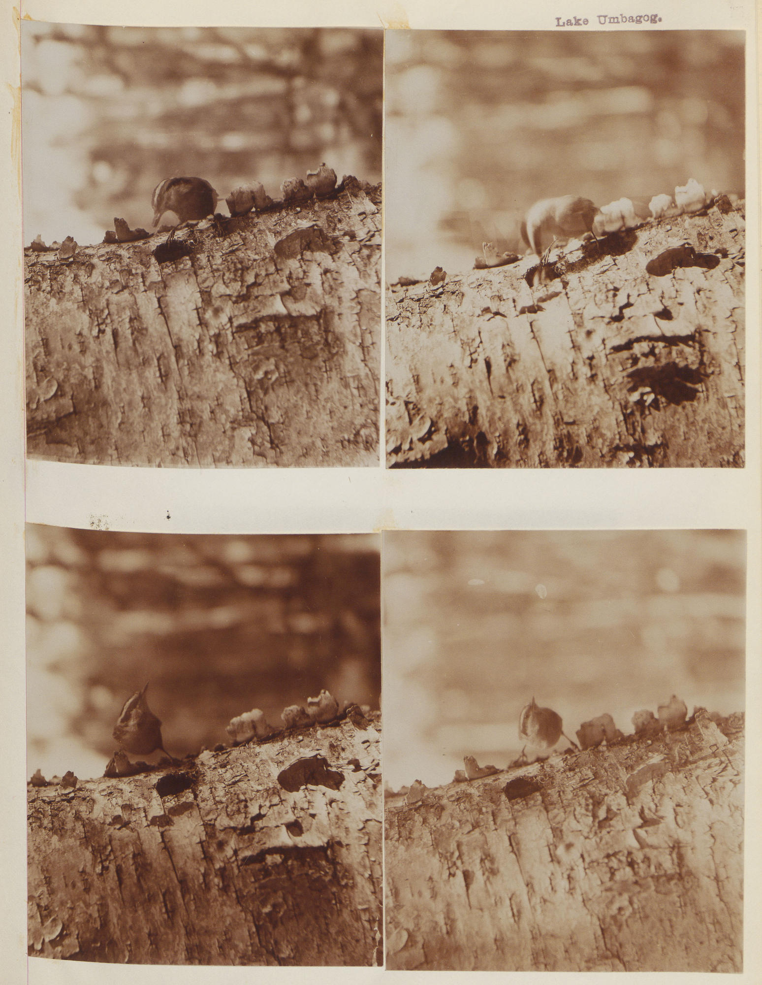 Four sepia-toned photographs of a nuthatch perched on a tree trunk, with varying focus and clarity.