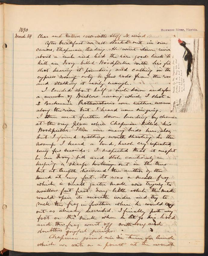 A photo of a handwritten journal page. In the right margin is a colored pictured of an Ivory-billed Woodpecker.