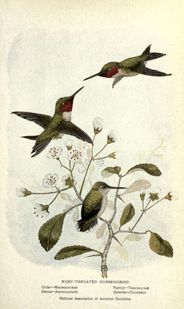 Illustration of three humming birds feeding from white flowers.