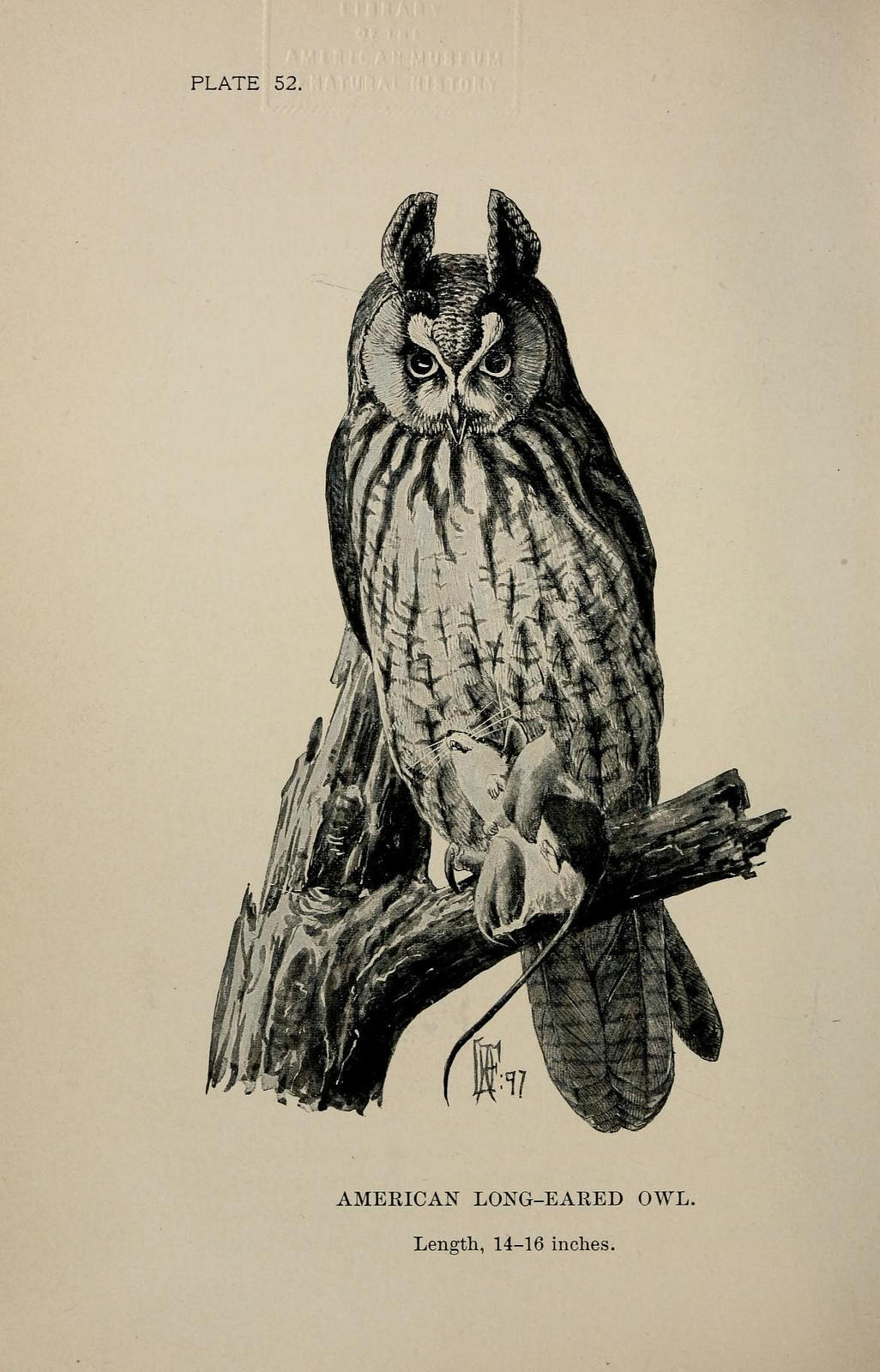 A black and white illustration of an American Long-eared Owl. The owl has two long feather tufts that are raised, resembling ears.
