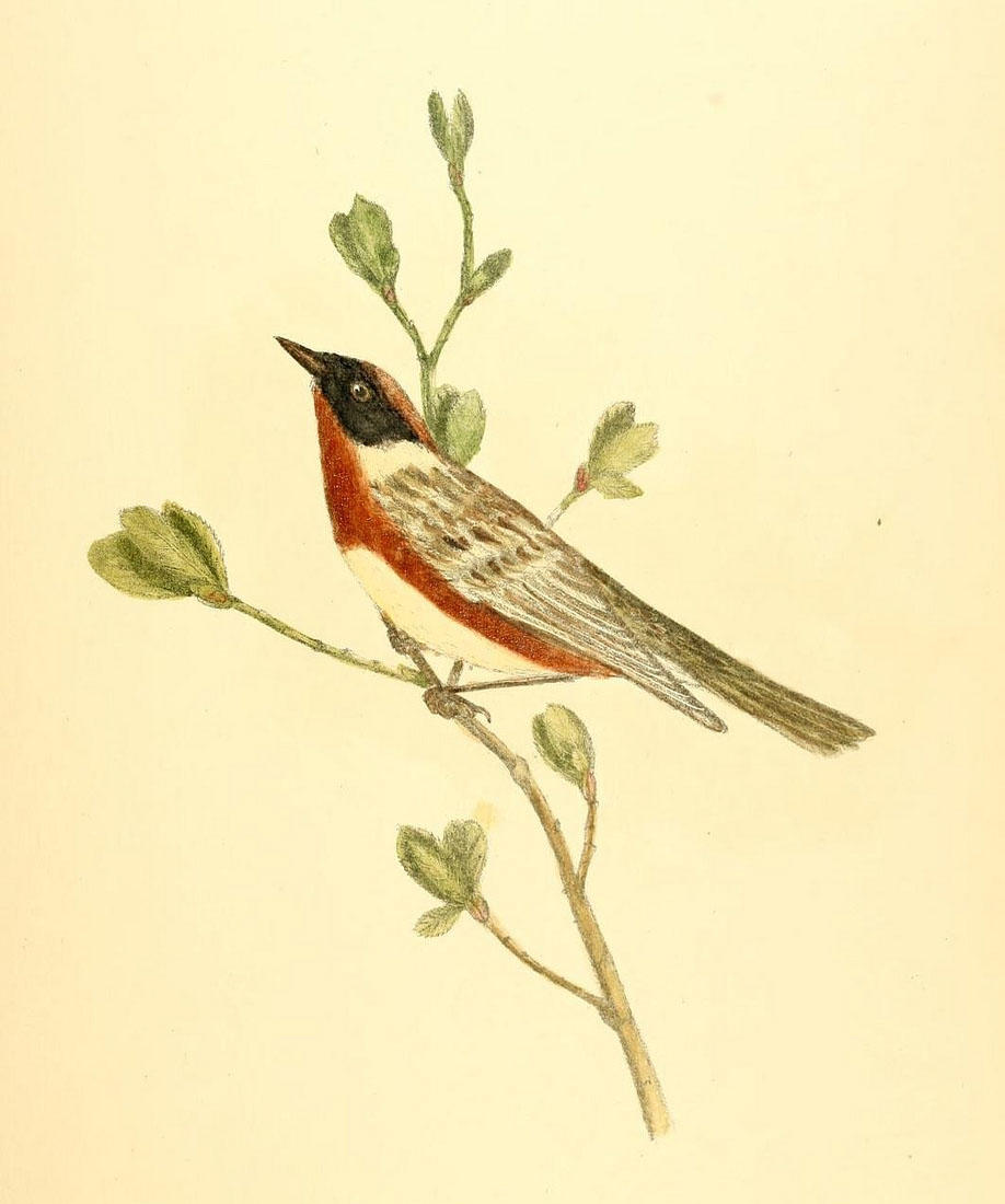Illustration of a bay-breasted warbler, a small bird with chestnut-brown sides, light wings, and a black face 'mask'.