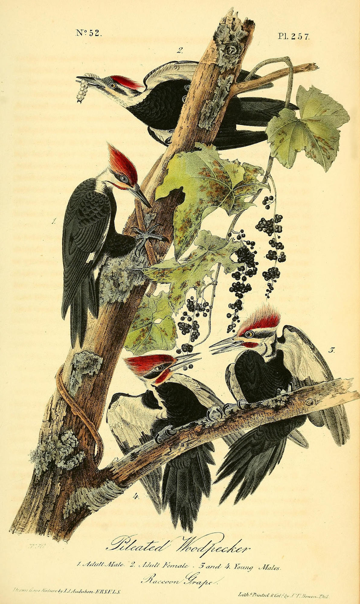 Illustration of Pileated Woodpeckers by John James Audubon.