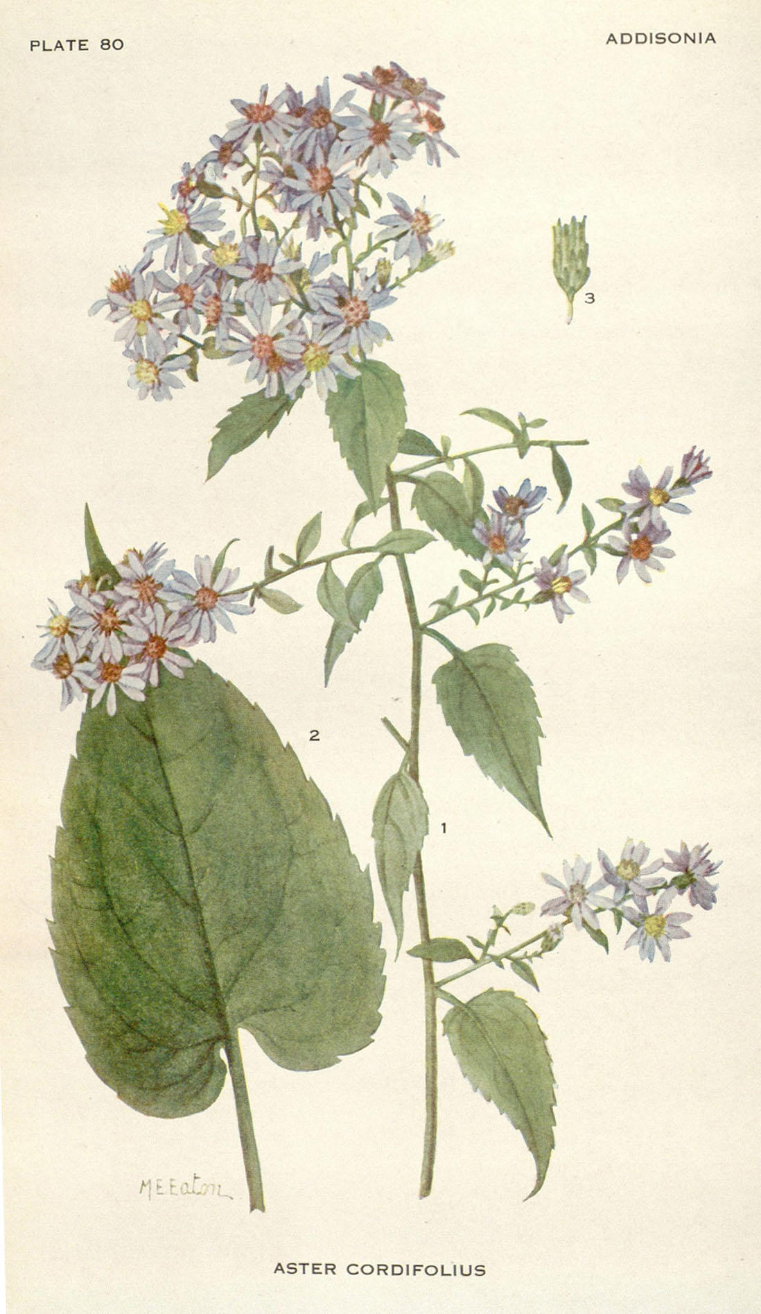 Illustration of an aster plant, with daisy-shaped blue flowers.