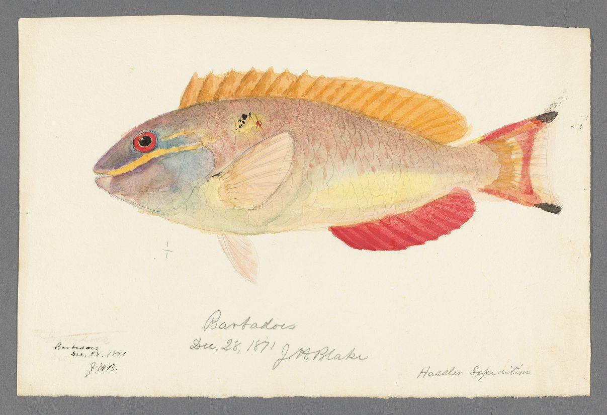Barbados fish drawing