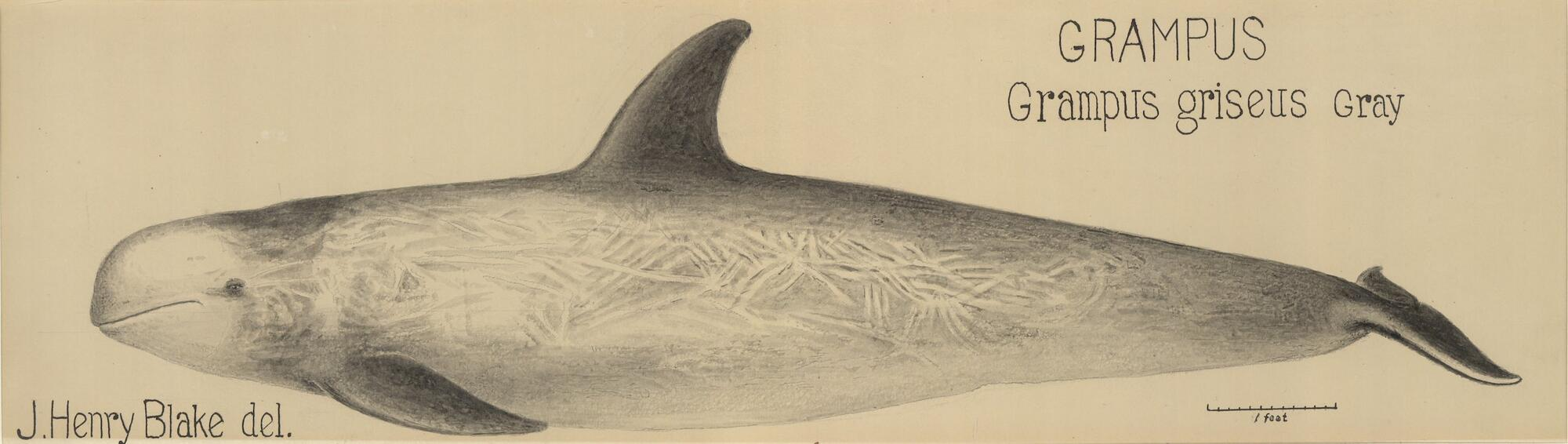 illustration of a Grampus griseus gray whale by J. Henry Blake