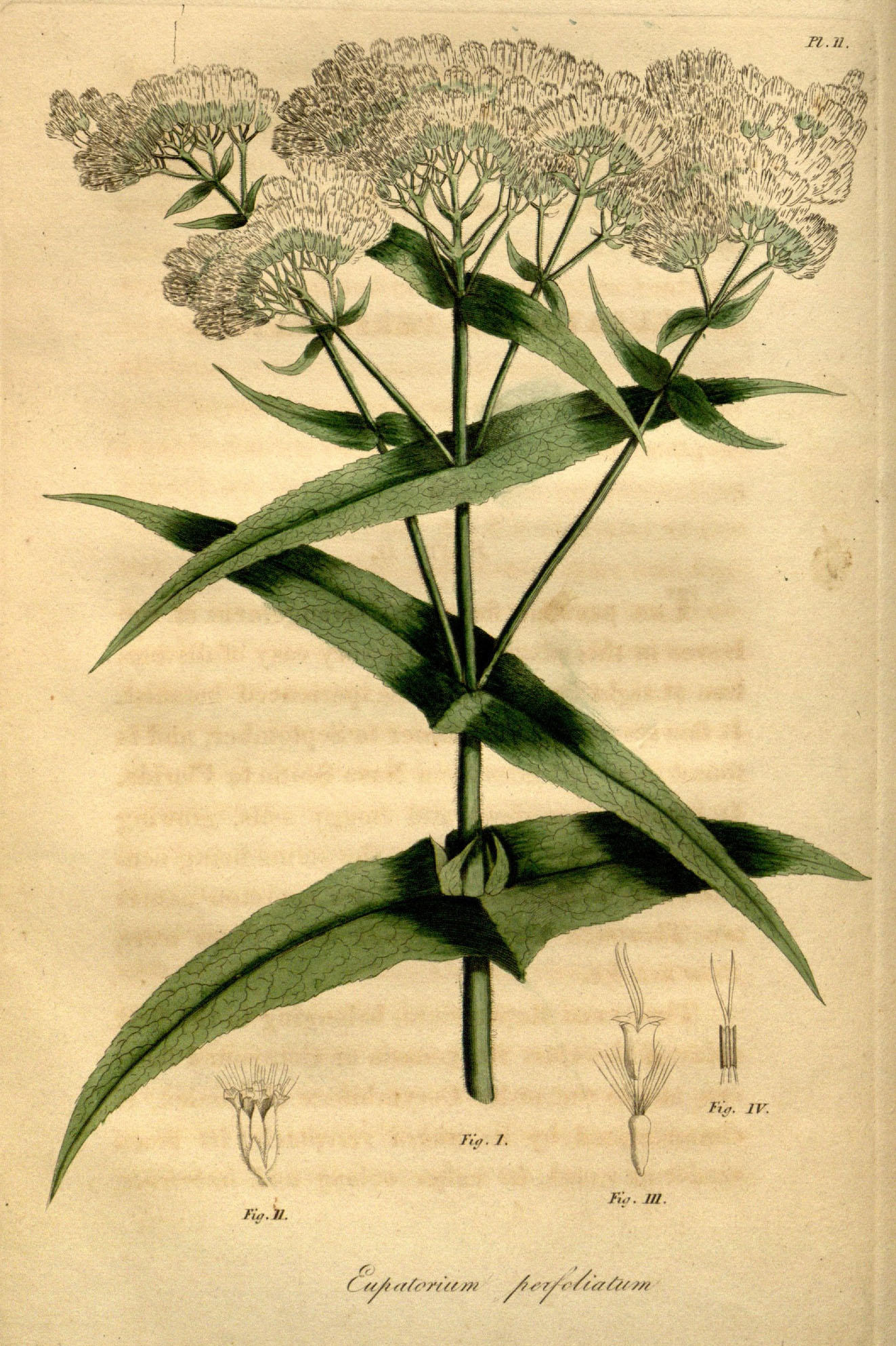 Illustration of a plant in the genus Eupatorium, with small white flowers.