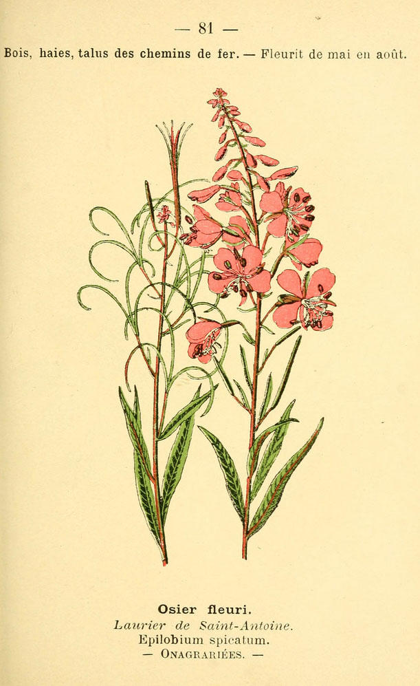 Illustration of a fireweed plant, which has pink flowers.