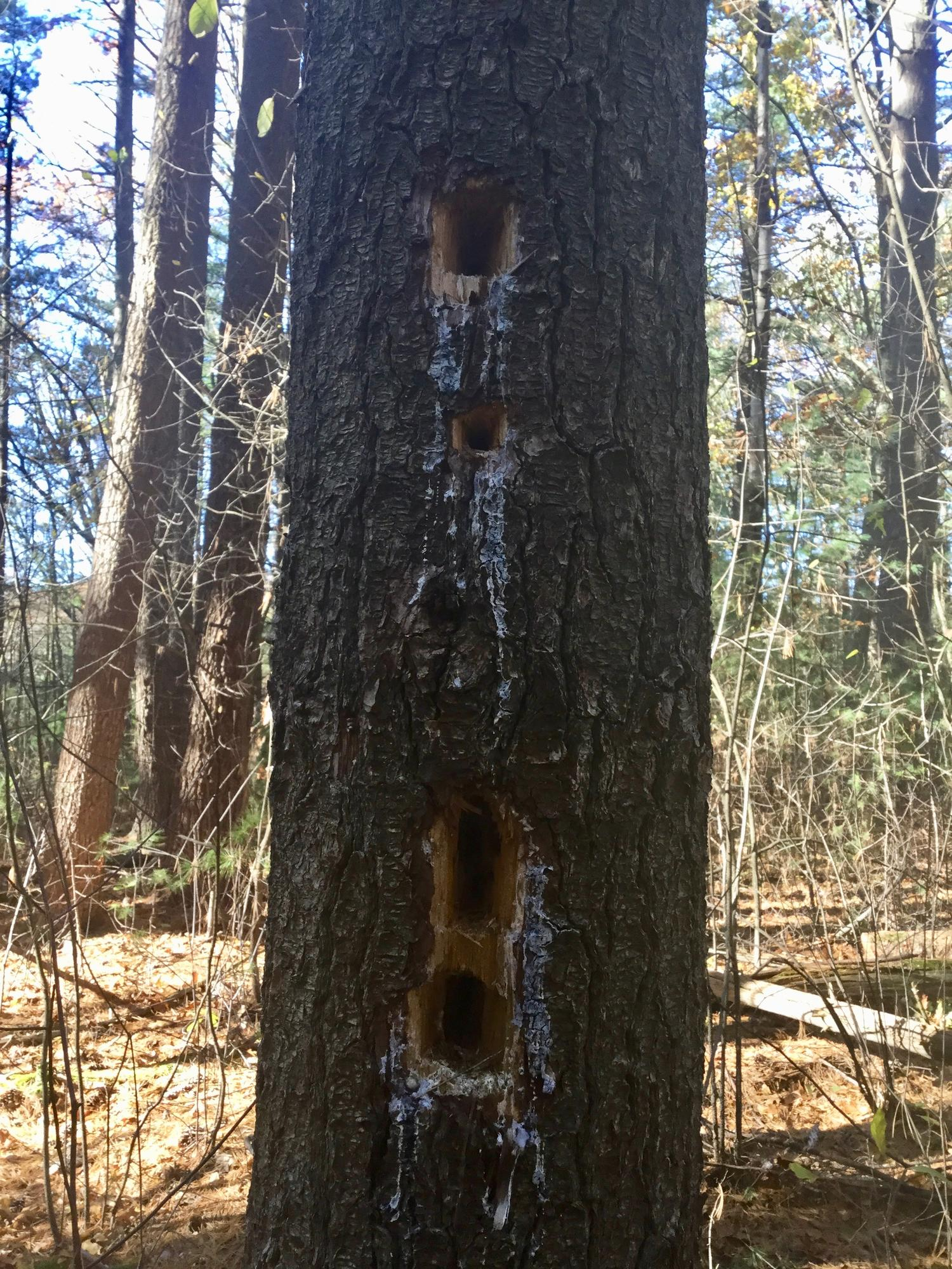 Tree with rectangular holes made by Pileated Woodpecker.