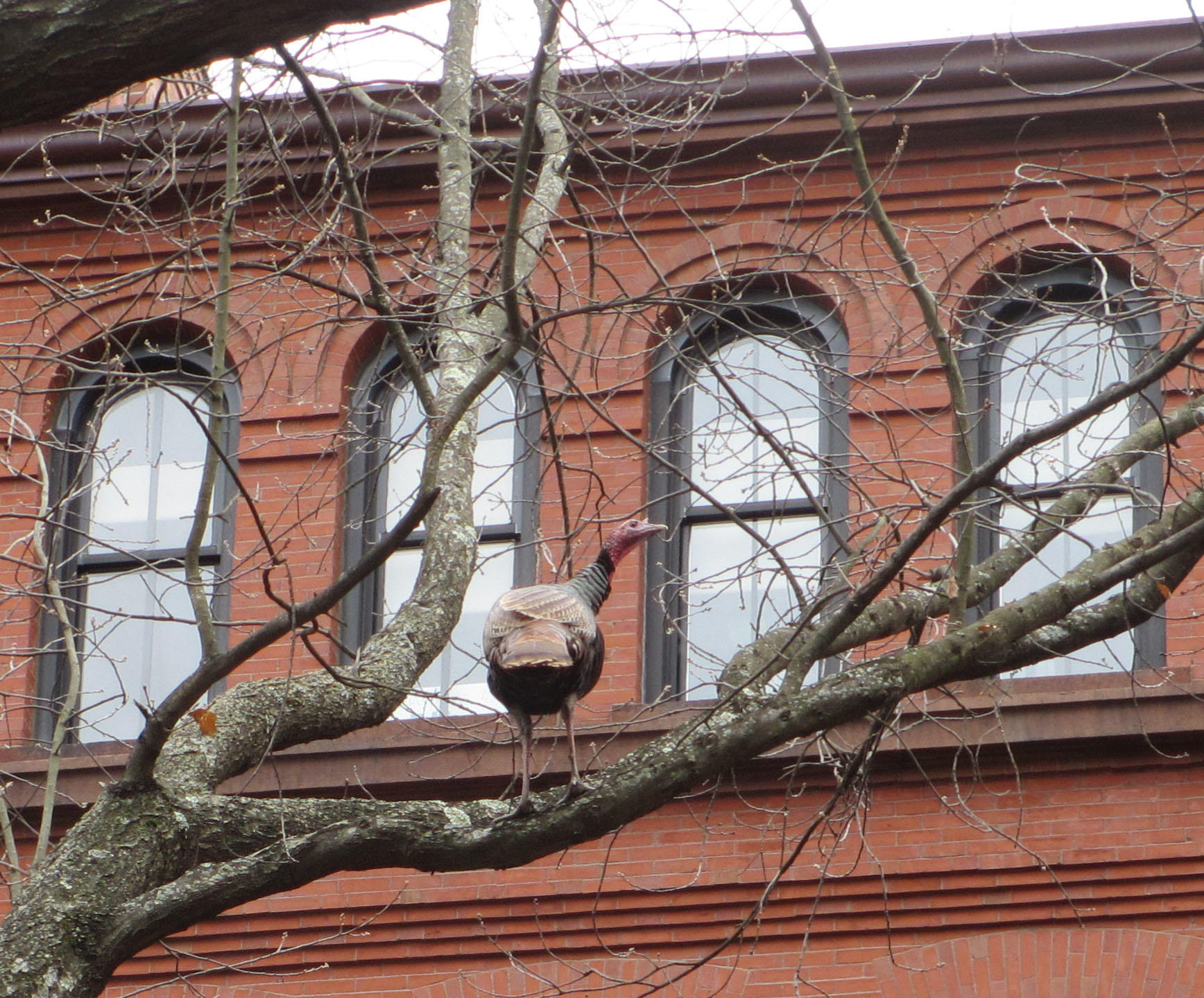 Turkey in tree