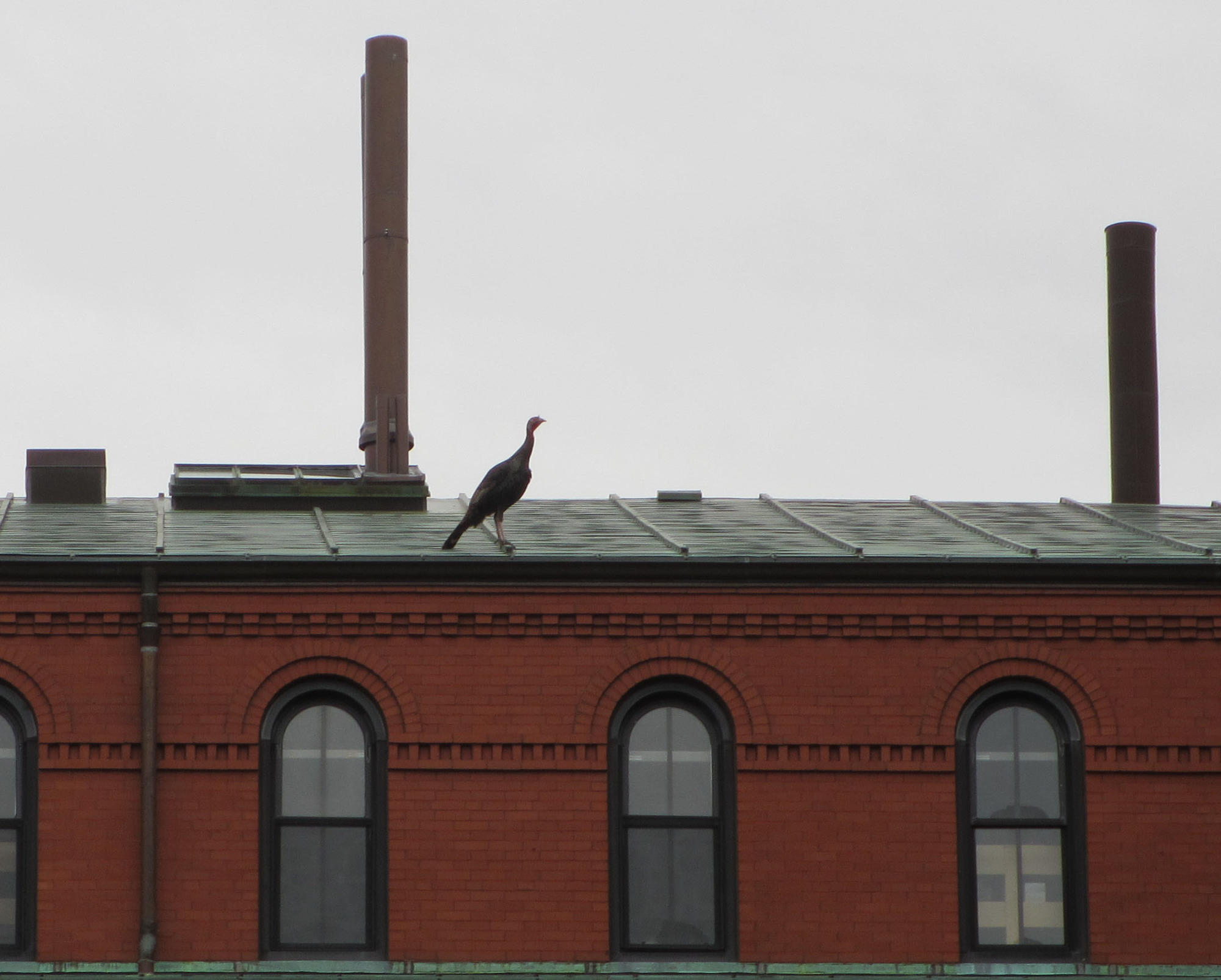 Turkey standing on rooftop of Peabody Museum, Harvard University
