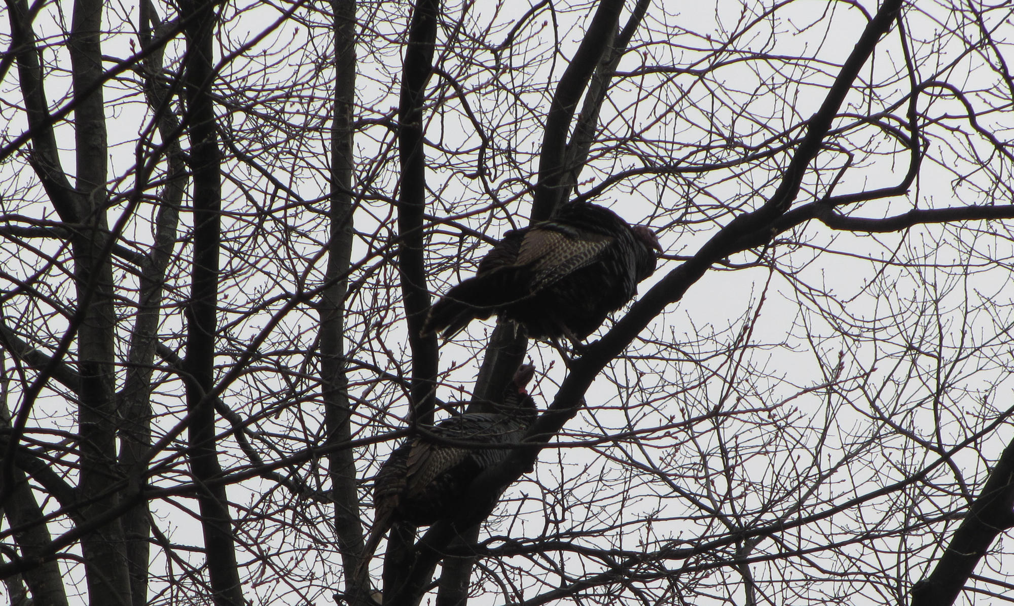 Two turkeys in tree, showing plumage