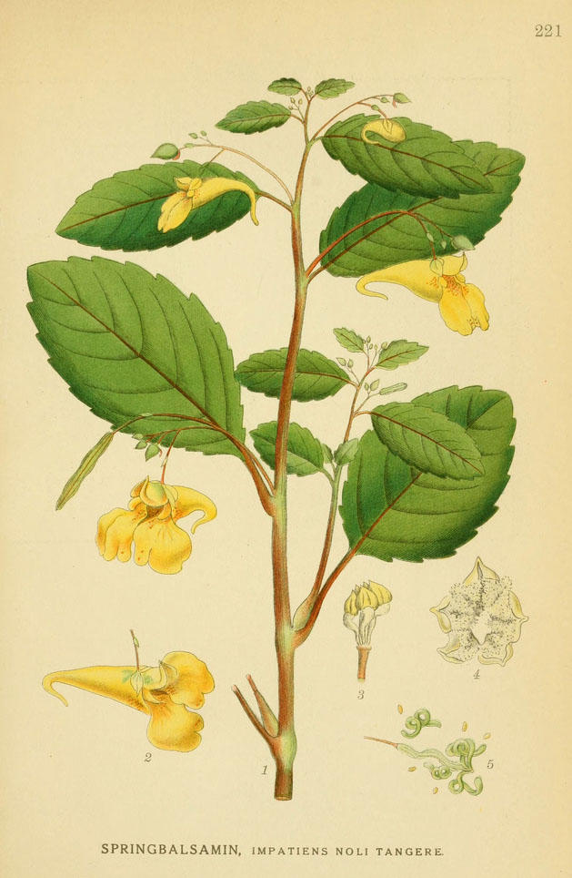 Illustration of jewel weed, a plant with yellow or orange flowers.