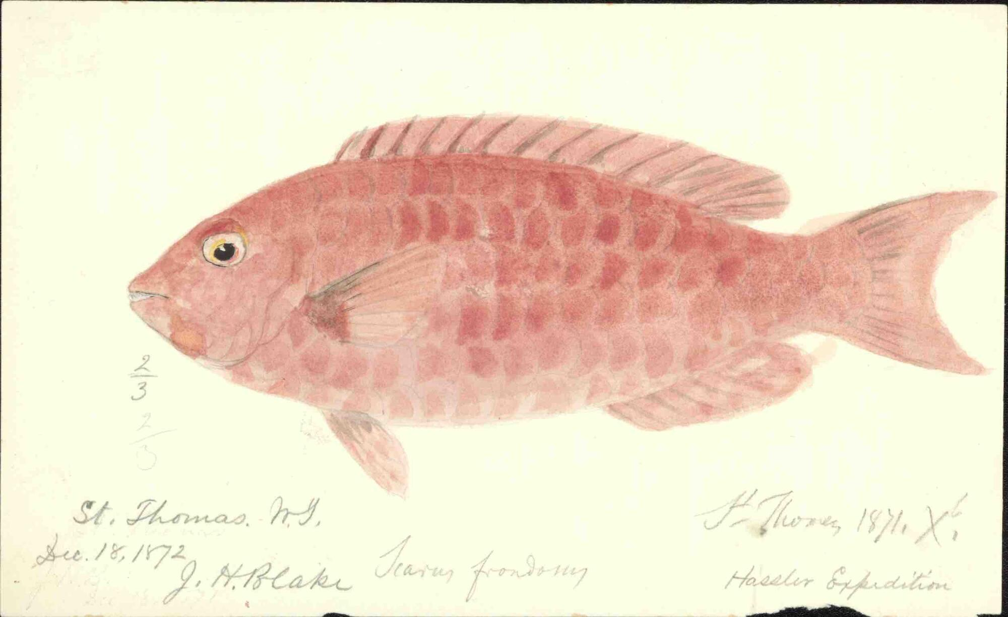 watercolor of a red scaled fish, its eye peering toward the viewer dated December 18th 1872