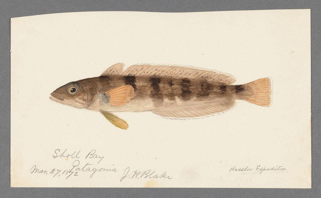 watercolor of a brown and tan striped fish from Sholl Bay Patagonia by J.H. Blake dated March 27th 1872