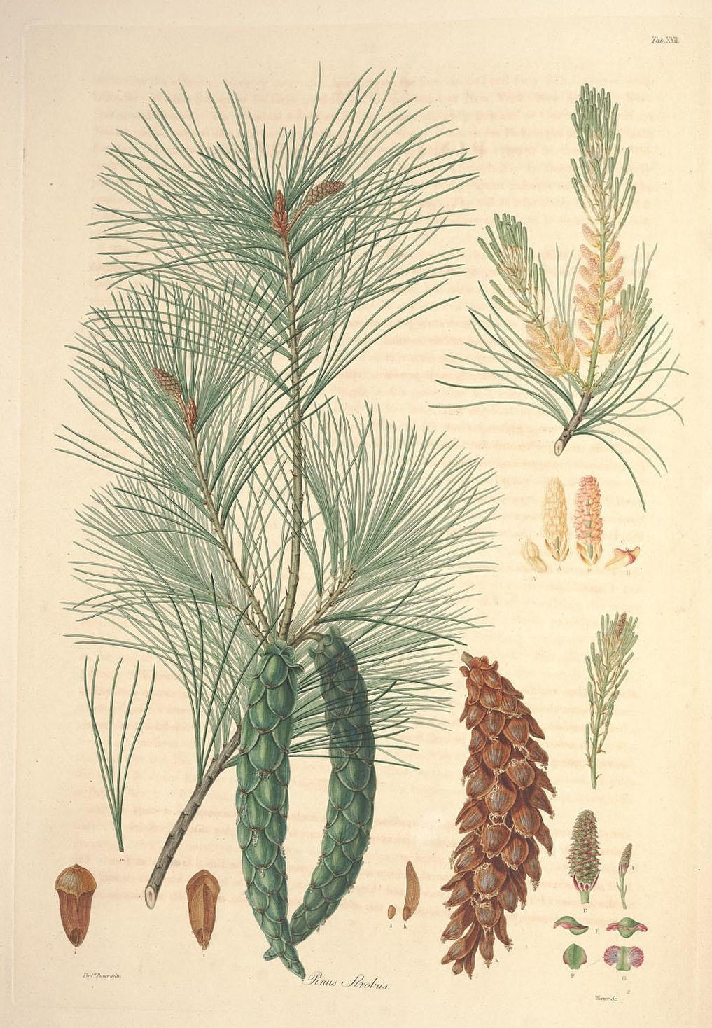 An illustration of the leaves and pine needles of the White Pine (Pinus strobus).
