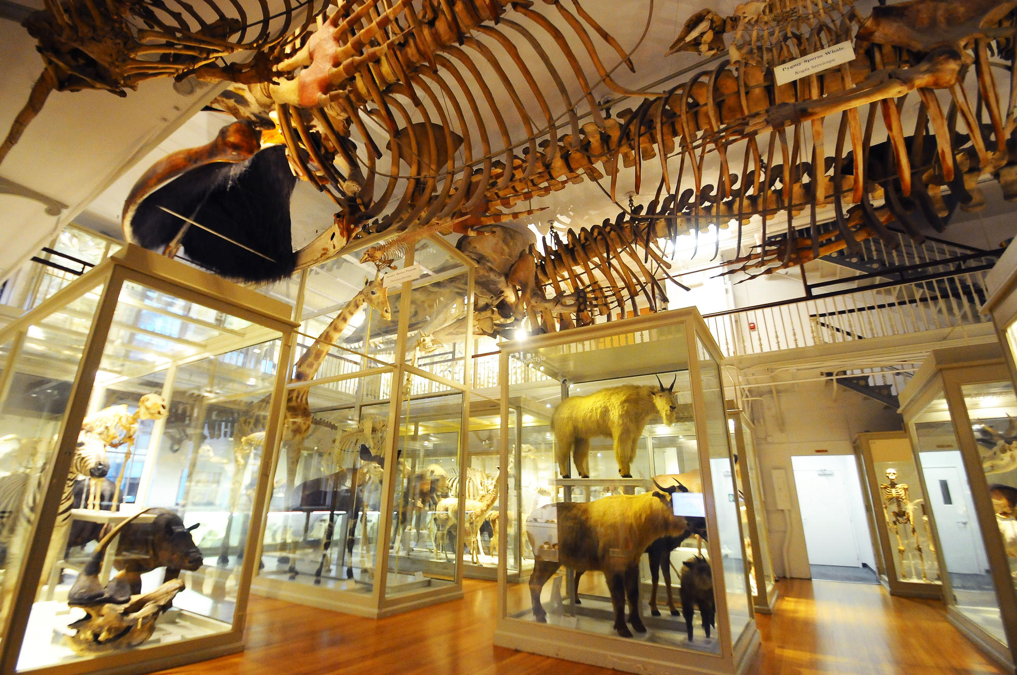 Larger room with whale skeletons hanging from the ceiling and animals in cases.
