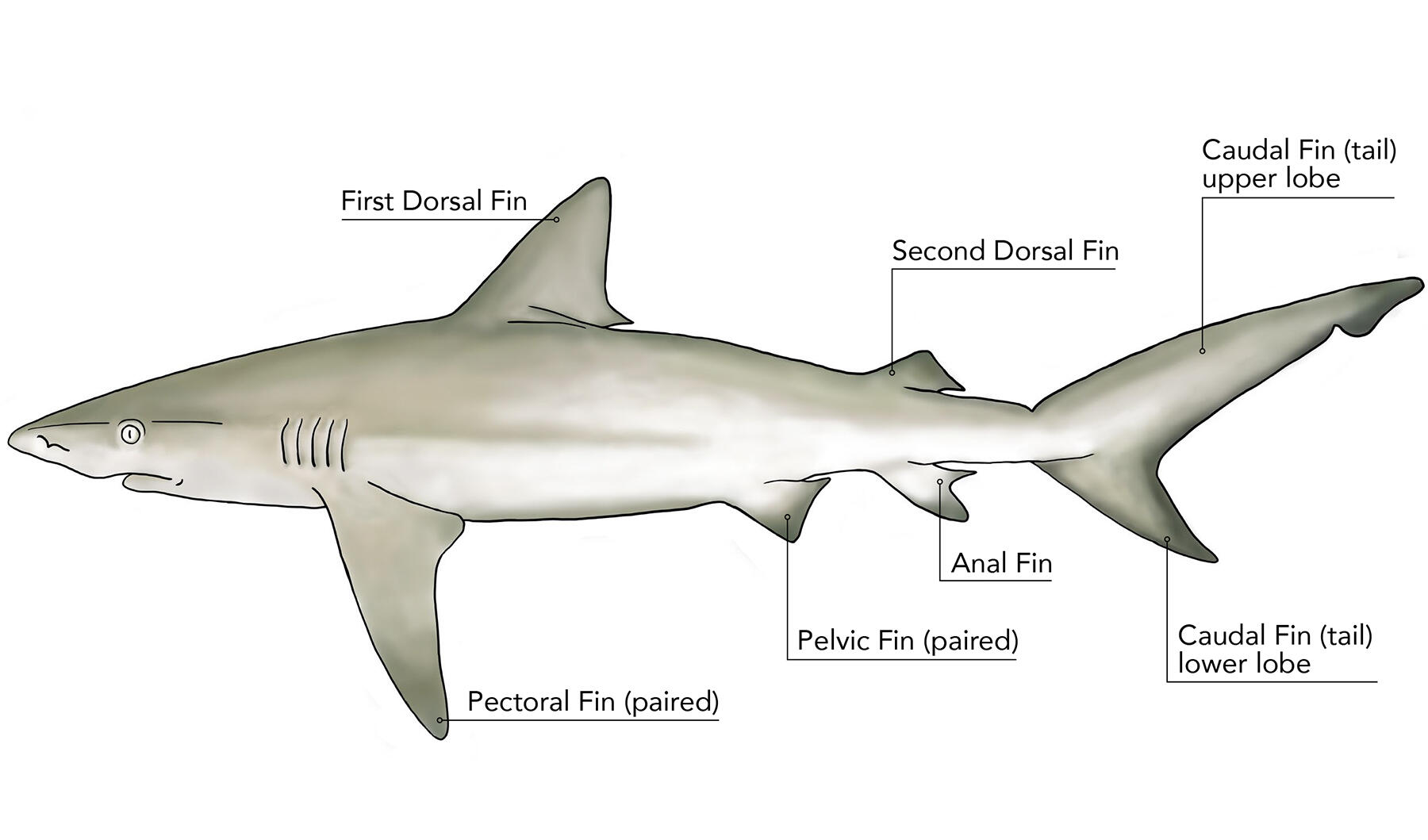"Illustration of a shark with text on top ""First Dorsal Fin, Second Dorsal Fin, Caudal Fin (tail) upper lobe"" on bottom ""Pectoral Fin (paired), Pelvic Fin (paired), Anal Fin, Caudal Fin (tail) lower lobe""."