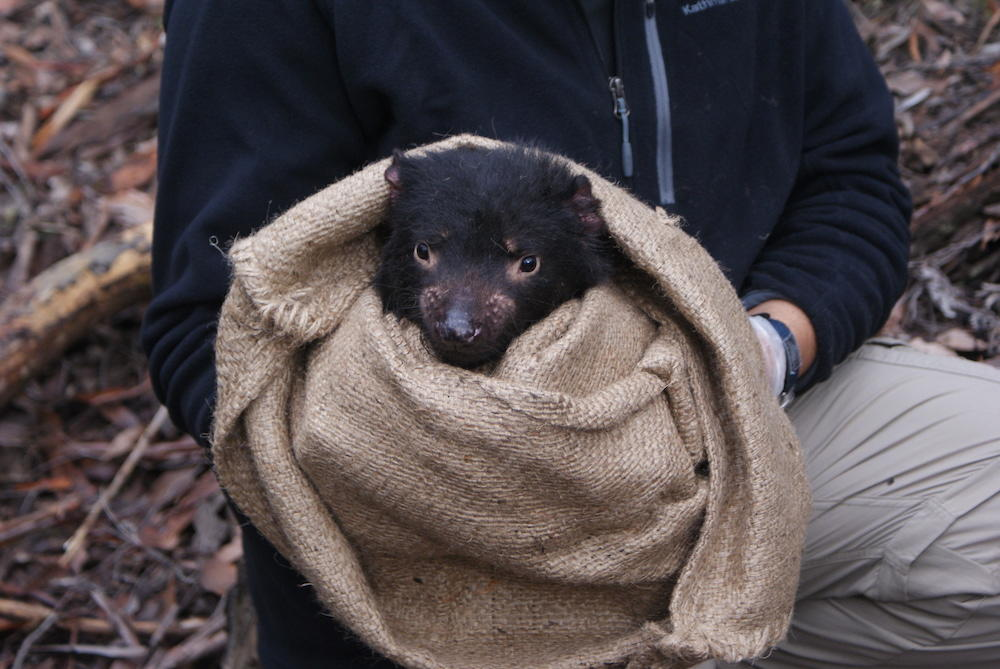 Mark J. Margres holding Tazmanian Devil