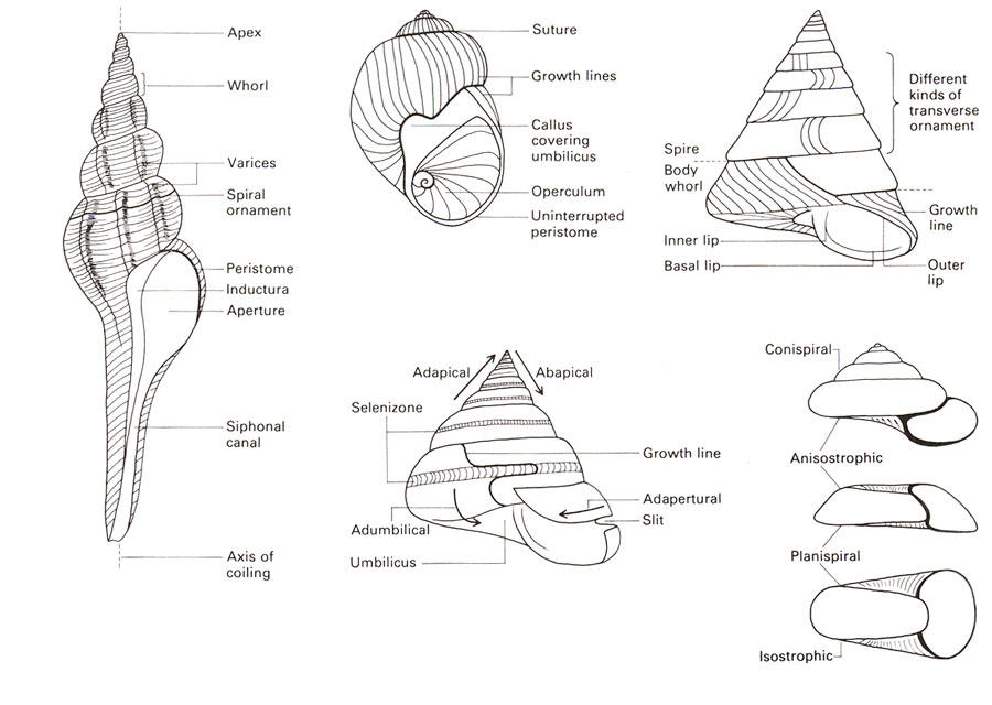 Phylum Mollusca   Geologic Overview of the Trenton Group