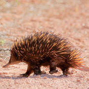 Echidna by Mark Gillow Flickr