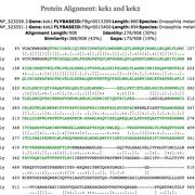 Amino acid alignment of the fly paralogs kek1 and kek2