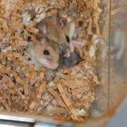 A mated pair of monogamous oldfield mice with their litter in the lab at Harvard