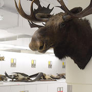 moose in mammalogy