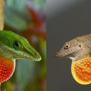 Yoel Stuart and Jonathan Losos Discover Rapid Evolution in Real Time. Carolina Brown Lizard