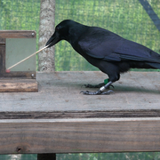 Crow using stick as tool to get treat courtesy of Cody McCoy
