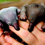 These baby echidnas, like their platypus cousins, lick or slurp their milk from their mother's skin.  PHOTO: BEN NOTTIDGE/ALAMY STOCK PHOTO