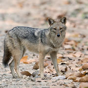 Golden Jackal by Koshy Koshy on Flickr