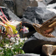 Courtesy of Scott A. Hodges/UCSB  Columbine pollinators include bees, which prefer short, curled spurs; hummingbirds, which enjoy short, straight spurs; and hawkmoths (shown here), which can dig into long, slender spurs.