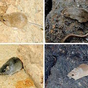 The rock pocket mouse comes in two colors, dark and light.