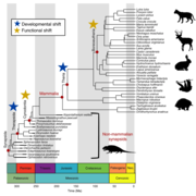 Figure 2: Time-calibrated phylogeny of sampled synapsid taxa.