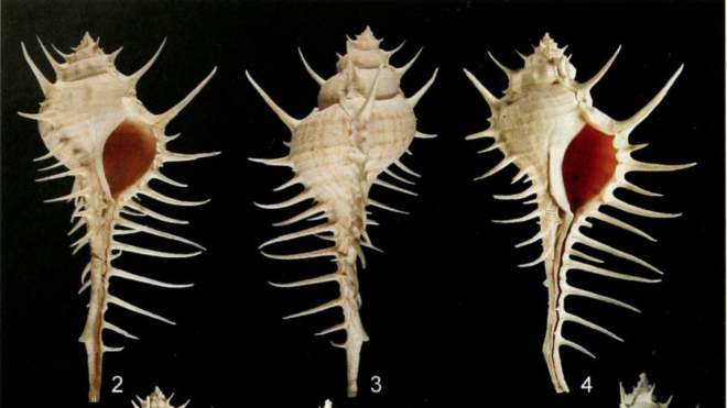 Two new species of Murex S.S. (Mollusca:Gastropoda:Muricidae) from the northern Indian Ocean