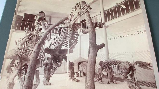 fossil giant sloths displayed in the MCZ gallery circa 1950