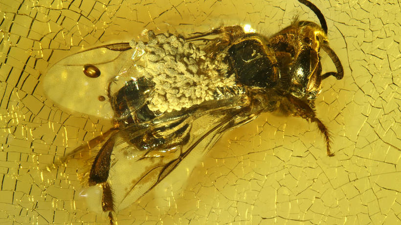 Proplebeia dominicana apid bee from Dominican amber with orchid pollen attached to its back