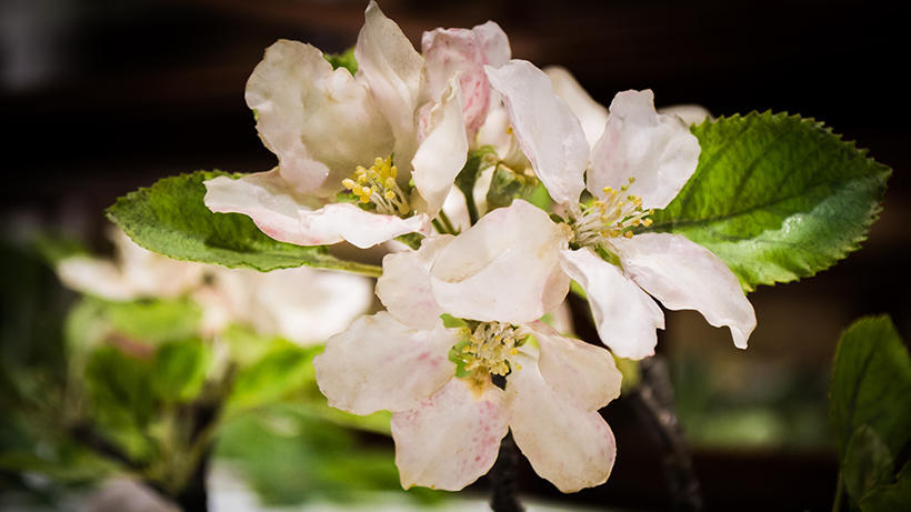 Apple Blossom detail in Glass Flowers Gallery exhibit