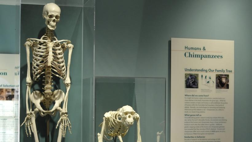 Hominids at the Museum of Natural History