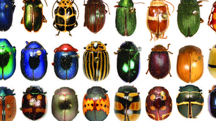Rockefeller Beetles collection