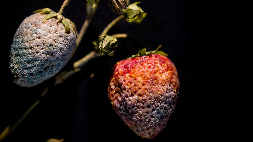 Two realistic glass strawberries, one fully covered in mold and the second beginning to decay.
