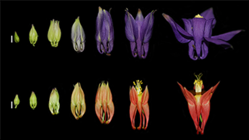 A developmental series of A. alpina (top) and A. canadensis (bottom) flowers
