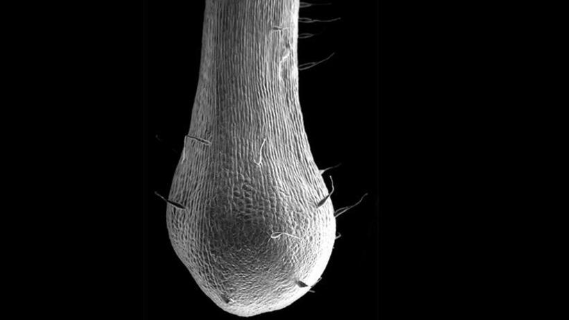 SEM image of the tip of a nectar spur