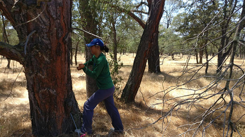 Jackie Ho coring a grey pineat the Tonzi Ranch field site